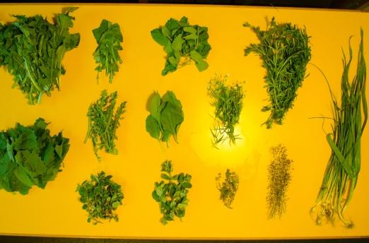 Garlic mustard, dandelion greens, wild garlic, wild lettuce, plantain, shepard's purse, oregano, mint, thyme, cleaver, lemon balm & estrallada.