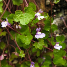 Ivy-leaved toadflax - Cymbalaria muralis