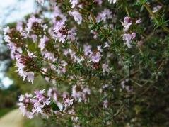 Wild thyme - Thymus serpyllum
