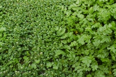 "Watercress (left) often grows alongside ""fool's watercress"" Apium nodiflorum (right). Also edible, fool's watercress has a similar taste and can be used as a replacement or additional green."