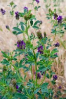 Our plant of choice: Alfalfa - Medicago saliva. Highly nutritious and super delicious.
