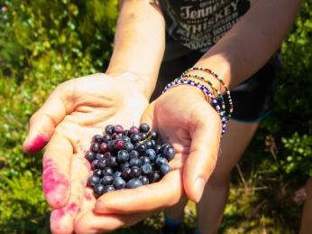 Bilberries, Vaccinium myrtillus
