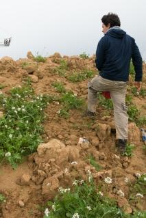 Tomer harvesting wild rocket (Eruca vesicaria).